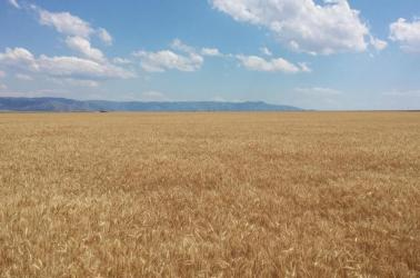 "<img src=""farms-for-sale-in-washington-state-farmland-farm-walla-walla-farmground-property-sold-pacific-northwest-western-united-states-oregon-idaho-montana-california-farming-land-irrigated-crp-dryland-dry-vineyard-wheat-winery-corn-cropland-state-acre-acres-circle-organic-best-real-estate-agent-broker.jpg""title=""Farms Farmland Farm Ground for sale Land acres Western United States Pacific Northwest""alt=""farms for sale in washington state farmland farm oregon idaho montana real estate agent and brokers"">"