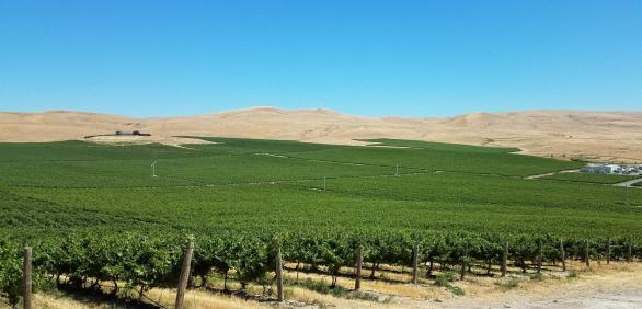 "<img src=""vineyard-for-sale-Yakima-County-Valley-Washington-Zillah-Roza-vineyards-winery-Rattlesnake-AVA-permanent-crop-farm-real-estate-broker-sell-buy-wineries-pacific-northwest-western-united-states-near-me-valley.jpg""title=""vineyard for sale in yakima county Washington near Zillah planted red and white grapes potential Rattlesnake AVA wineries wine vineyards real estate broker""alt=""vineyard for sale near Zillah Washington Yakima County valley WA wineries vineyards acres planted red and white grapes"">"