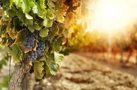 "<img src=""2018-grape-harvest-vineyard-owners-news-grapes-harvest-pacific-northwest-2018-walla-walla-washington-state.jpg""title=""great news for walla walla washington vineyard owners harvest 2018 prediction""alt=""great news for walla walla washington vineyard owners harvest 2018 prediction"">"