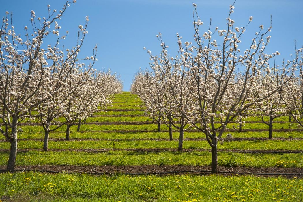 """<img src=""""Vineyards-for-sale-Walla-Walla-Valley-Washington-orchards-for-sale-permanent-crop-land-Washington-Oregon-Idaho-Montana-Pacific-Northwest-land-farm-property-agricultural-winery-walla-walla-real-estate-brokers.jpg""""title=""""vineyard for sale orchard for sale winery for sale farm land ground Washington Oregon Idaho Montana Pacific Northwest land wineries wine vineyards walla walla real estate brokers""""alt=""""best walla walla wines ava for sale boutique farm sites sell farm ground land"""">"""
