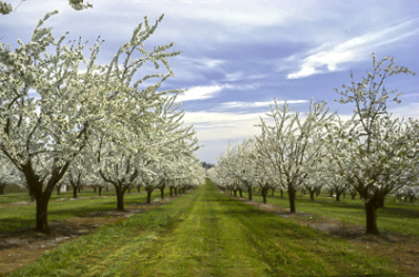 "<img src=""cherry-orchard-crop-outlook-2019-production-estimate-harvest-late winter-prediction-Northwest-Cherry-Growers-Association.jpg""title=""Northwest Cherry Growers Association 2019 crop outlook harvest production probability""alt=""Cherry Orchards 2019 Outlook Harvest Production late winter late frost hibernation dormancy"">"