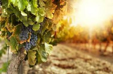 "<img src=""2018-grape-harvest-vineyard-owners-news-grapes-harvest-pacific-northwest-2018-walla-walla-washington-state.jpg""title=""great news for walla walla washington vineyard owners harvest 2018 prediction""alt=""great news for walla walla washington vineyard owners harvest 2018 prediction"">"
