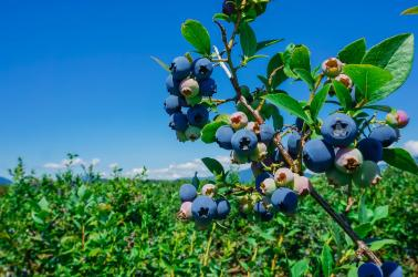 washington,blueberries