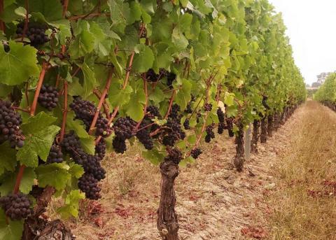 Oregon wine, vineyard