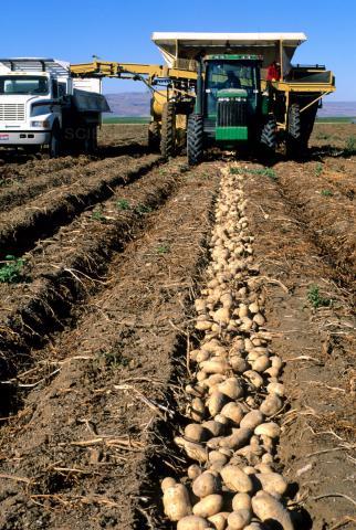potato,harvest,washington,export,china