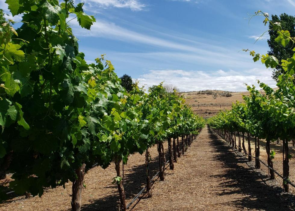 One acre of grapes planted.
