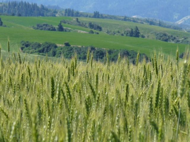 """<img src=""""dry-land-farm-ground-for-sale-in-washington-oregon-idaho-montana-eastern-united-states-walla-walla-farms-property-land-forsale-by-near-in-blue-mountain-farm-real-estate-agriculture-agents-agricultural-sold-land-for-sale.jpg""""title=""""Dryland Farm ground for sale in western united states washington oregon idaho montana walla walla dryland farm""""alt=""""dryland farm ground for sale in western united states washington oregon idaho montana walla walla agricultural land"""">"""