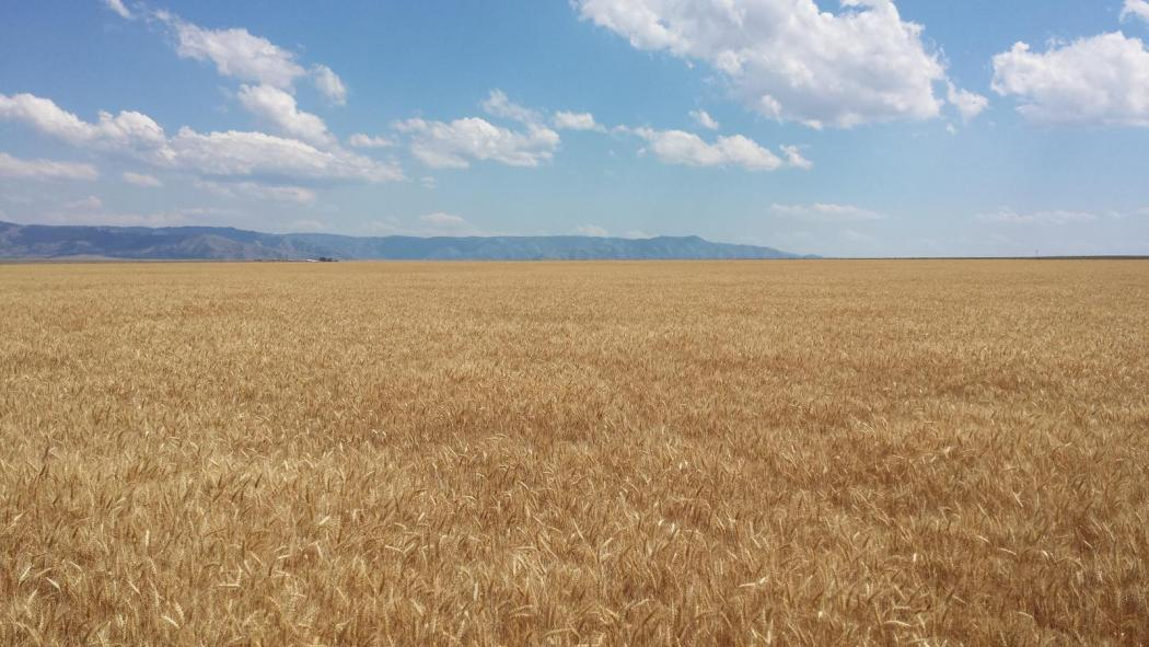 "<img src=""dry-land-wheat-farm-for-sale-in-asotin-washington-for-sale-in-washington-palouse-farms-for-sale-land-for-sale-farms-for-sale-by-walla-walla-blue-mountain-real-estate-land-dry-land-irrigated-farm-washington-state-oregon-idaho-montana-land-in-walla-walla-for-sale-timber-ground-for-sale-walla-walla-property-for-sale-sold-land-for-sale.jpg""title=""Farms for sale in walla walla washington savage road dry land farm""alt=""farms for sale in walla walla washington land for sale in oregon farms for sale"">"